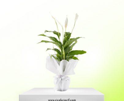 Vazoda-Beyaz-Spatifilyum-Çiçeği
